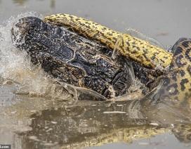 """Trận chiến """"nghẹt thở"""" giữa cá sấu và trăn trong rừng rậm Amazon"""