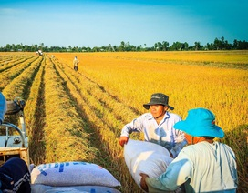 Sản xuất lúa, gạo: Ứng dụng công nghệ để bảo quản, chế biến vẫn là khâu yếu nhất