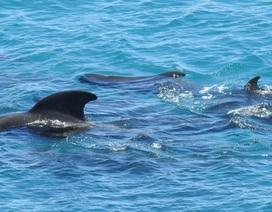 Khoảnh khắc đàn cá voi quây quần bên nhau trước khi bị sát hại khiến nhiều người đau lòng
