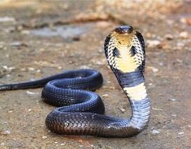 Bác thông tin hàng nghìn con rắn hổ mang bò ra khu dân cư