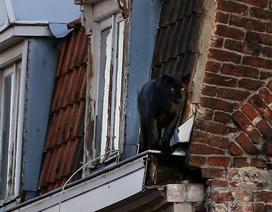 Giật mình báo đen dạo bước trên mái nhà ở Pháp