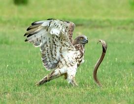 Cuộc chiến sống còn giữa đại bàng và rắn hổ mang