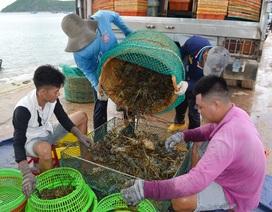 """Phú Yên: Thị trường Trung Quốc """"chê"""" tôm hùm, người nuôi lao đao"""