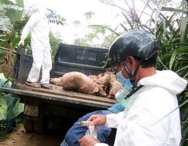 Dịch lở mồm long móng lan rộng, hàng trăm con gia súc bệnh bị tiêu hủy