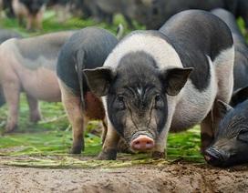 Đàn lợn hương 500 con chuẩn bị Tết của đôi vợ chồng nông dân Hà Nam