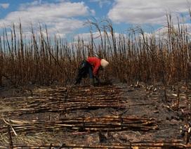 Hơn 100ha mía sắp thu hoạch cháy rụi, nhiều hộ dân mất tết