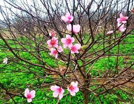 """Người trồng đào lo """"mất Tết"""" vì hoa bung nở sớm"""