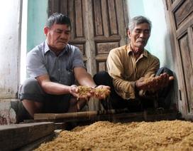 Hơn 330 tấn lúa giống đành đổ bỏ vì mưa lũ