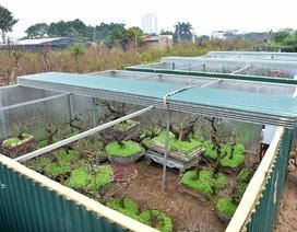 Vườn đào bạc tỷ được xây phòng riêng, lắp điều hòa của đại gia Hà Nội