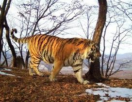 Hổ già bị thương bỏ rừng tìm con người giúp đỡ