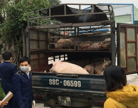 Phát hiện, thu giữ hàng chục con lợn lở mồm, long móng