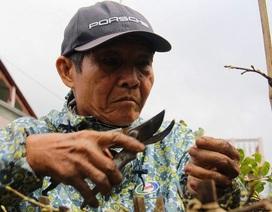 Chi 120.000 đồng/ngày, thủ phủ mai vàng miền Trung 'chiêu mộ' người lặt lá