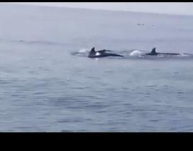 Đàn cá heo xuất hiện ở biển Cửa Đại: Dấu hiệu đáng mừng của môi trường biển