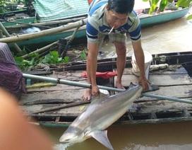 Người dân Đồng Tháp bắt được cá lạ, nghi cá mập