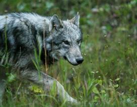 Cuộc sống ở ngôi làng hẻo lánh có chó sói nhiều hơn trẻ nhỏ