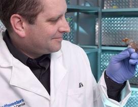 Các nhà khoa học tìm ra cách cấy ký ức mới vào não của loài chim