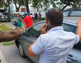 """Hà Nội: Cây phượng """"khủng"""" đổ trúng đầu xe ô tô, tài xế hú vía"""