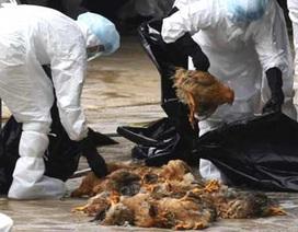 Phát hiện 1.000 con gà nhiễm cúm A/H5N6