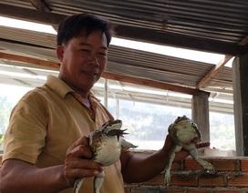 Khánh Hòa: Nuôi ếch ộp ở chuồng heo cũ kiếm gần 20 triệu đồng/tháng