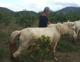 """Gia Lai: Đàn ngựa mắt đỏ hàng tỷ đồng trên """"ốc đảo"""" của trai 8X"""