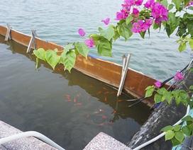 Sau 1 tháng, đàn cá Koi tại sông Tô Lịch bây giờ ra sao?