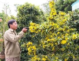 Nhà vườn trồng mai lao đao vì hoa mai nở hoa sớm