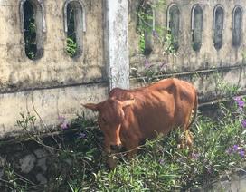 Đề nghị báo cáo vụ cụ già không còn sức lao động vẫn được tặng bò thoát nghèo