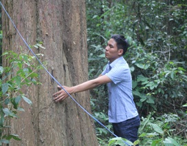 Thắp đèn canh rừng trắc trăm tuổi quý hiếm