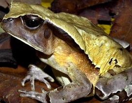 """Loài cóc kì lạ ở Congo nguỵ trang bằng cách """"hoá thân"""" thành… rắn"""