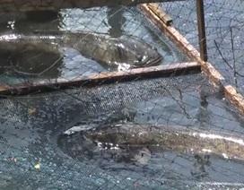 Quảng Bình: Dân bãi ngang thoát nghèo nhờ ...nuôi cá lóc trên vùng cát trắng