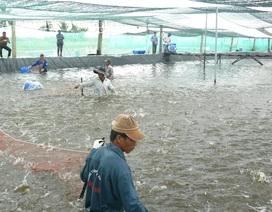 Bạc Liêu: Để nuôi tôm siêu thâm canh cần có tiền tỷ đầu tư