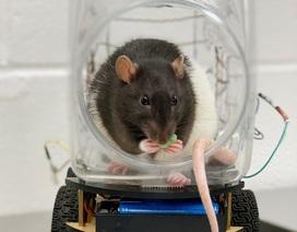 Khoa học hành vi: Chuột có thể được đào tạo để lái xe?