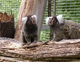 """Khỉ đuôi sóc có thể học được các """"phương ngữ"""" khác nhau"""