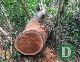 Vụ phá rừng gỗ lim tại Quảng Bình: Khởi tố nguyên trạm trưởng trạm bảo vệ rừng