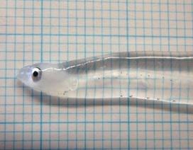 Khách Trung Quốc bị phạt tù vì giấu 60 kg lươn còn sống trong hành lý