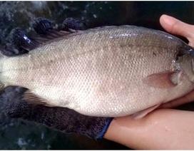 Ăn cá mú Australia 2 triệu đồng/con, hàng đi máy bay chờ 1 tuần mới có