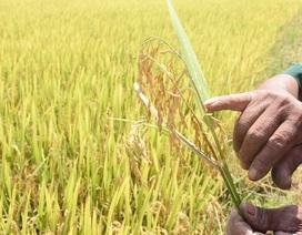 Người trồng lúa 'khóc ròng' vì dịch bệnh