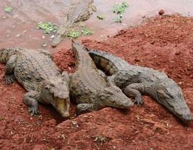 Zimbabwe: Bé gái 11 tuổi đánh nhau với cá sấu cứu bạn