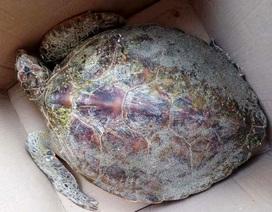 Thả rùa xanh quý hiếm mắc lưới ngư dân về biển
