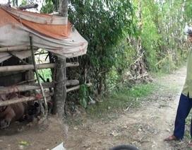 Đàn trâu lạ vào làng đuổi húc 15 người bị thương