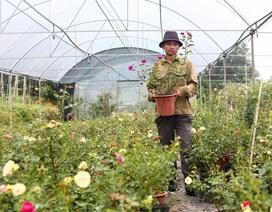 Bỏ phố về quê trồng hoa hồng, 8x thu 300 triệu đồng mỗi năm