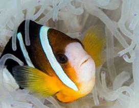 """""""Siêu năng lực"""" giúp cá hề có thể nhìn thấy tia UV"""