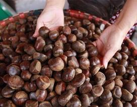 Hạt dẻ Trung Quốc gắn mác hạt dẻ Sa Pa: Sự thật gây sốc