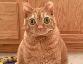 """Chú mèo có đôi mắt to đến """"kinh ngạc"""""""