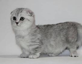 Mèo lùn chân ngắn một mẩu giá trên 55 triệu đồng, dân chơi vẫn mê mẩn