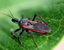 Những điều cần biết bọ xít hút máu