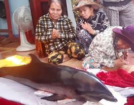 Cá ông lạc vào đầm Thị Nại, mắc lưới ngư dân