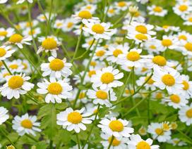 """Cúc ngải vàng: Loài hoa """"thần thoại"""" cho người đau nửa đầu từ Hy Lạp cổ đại"""