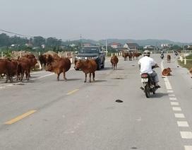 Hà Tĩnh lại mở đợt cao điểm xử lý trâu bò thả rông trên quốc lộ