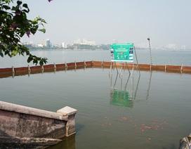 Đàn cá Koi Nhật chuyển từ sông Tô Lịch sang Hồ Tây giờ ra sao?